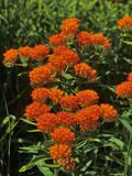 Butterflyweed and oh the butterflys you will attract! It is in the milkweed family so it will have pods that burst in fall and release fluff with a single seed attached. Does not self-seed well but if you collect and plant them that fall! You have better success.