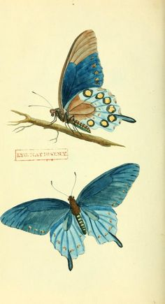1 - American entomology, or Descriptions of the insects of North America : - Biodiversity Heritage Library Butterfly Illustration, Illustration Art, Illustrations, Vintage Butterfly, Butterfly Art, Insect Art, Beautiful Butterflies, Botanical Prints, Vintage Prints