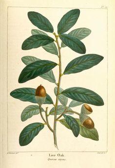 Pierre Joseph Redouté / Live Oak (Quercus virens, now called Quercus virginiana)