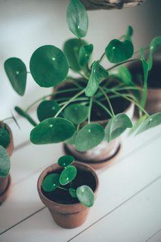 Eskarijuoru ja kilpipiilea lapsosineen - viherkasvit - Uusi Kuu
