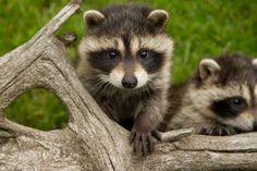 animals-animals-animals:  Baby Raccoon (by Travis Peltz)