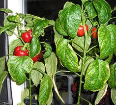Tips voor het kweken van  paprika