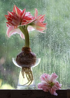 """Draußen regnet's, drinnen blüht es - Amaryllis """"Dancing Queen"""" in hyacinth vases. Welcome to my page about amaryllis, hyacinths and other bulbs http://www.facebook.com/flowerindoorgardening #amaryllis #vase #bulb"""