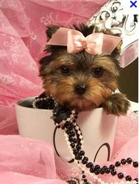 Baby doll Teacup Yorkie.  I can't tell you how bad I really want one or make it two of these Yorkies.  A boy and a girl would be perfect.  Gosh I see so much potential cuteness here and photos that I can hardly contain myself.  Price for one of the best of these Yorkies is about $3,500