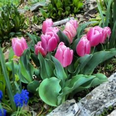 'Early Glory' tulip blooming for me right now! Bulbs from Longfield Gardens.  http://www.longfield-gardens.com/plantname/Tulip-Early-Glory