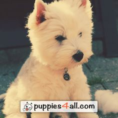 Learn more about your adorable puppy! Click here: http://puppies4all.com/ #dog #cute #puppy