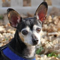 Meet Rickey, an adoptable Chihuahua looking for a forever home. If you're looking for a new pet to adopt or want information on how to get involved with adoptable pets, Petfinder.com is a great resource.
