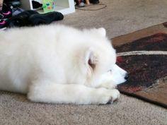 Kirby, the new Pinterest Web Team mascot, takes a nap