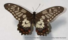 Swallowtail butterfly - This female swallowtail butterfly was collected in Dunkeld, Australia in March 1922. It is part of Mr Symington's collection.