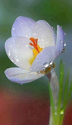 Image result for dew-filled petals Pinterest