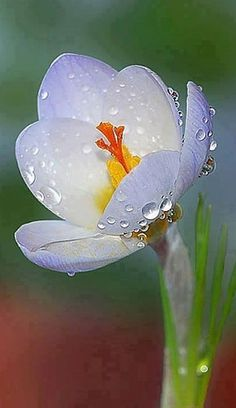 Saffron Crocus, via tumbler