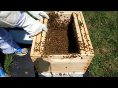 Honeybee swarm and transfer to hive (Part 1 of 2) - YouTube