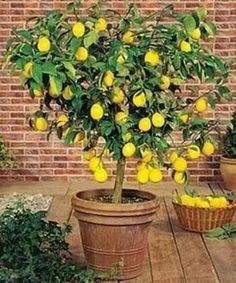 Myers grafted quick growing & producing lemon tree