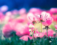 floral photography poppy spring photography by mylittlepixels