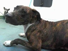SAFE --- DALMO (A1675465) I am a male black brindle and white American Bulldog mix.  The shelter staff think I am about 3 years old and I weigh 68 pounds.  I was found as a stray and I may be available for adoption on 01/31/2015. — hier: Miami Dade County Animal Services. https://www.facebook.com/urgentdogsofmiami/photos/pb.191859757515102.-2207520000.1422579576./917219874979083/?type=3&theater