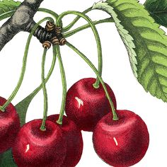 This is Best Vintage Cherries Image!! Don't you agree?!! Featured here is a gorgeous picture of a bright red Cherry Branch, with the most perfect looking Fruit on it!
