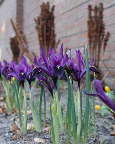 Spring Plants, Spring Bulbs, Gravel Garden, Garden Landscaping, Purple Iris, Purple Flowers, Iris Reticulata, Dwarf Iris, Partial Shade Plants