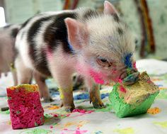 Baby piglets are probably one of the animals that are only cute when they're young. I don't think anyone thinks a grown fat pig is cute? Baby Animals Pictures, Cute Baby Animals, Funny Animals, Animal Pics, Farm Animals, Happy Birthday Pig, Birthday Cake, Birthday Memes, 15th Birthday