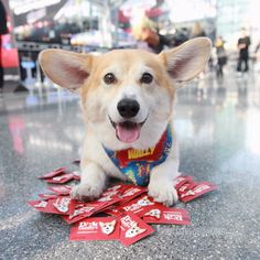 """Bentley the corgi from """"Dirk Gently's Holistic Detective Agency"""""""