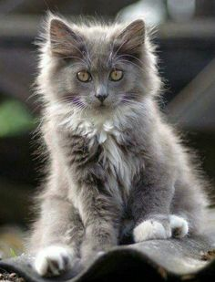This is exactly what I'm looking for!  A (female) Gray and white fluffy kitten.