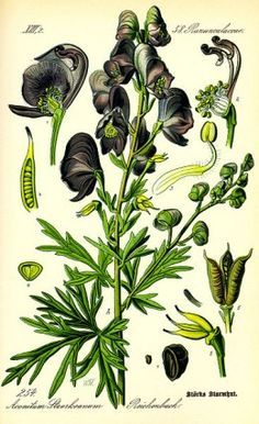 Wolfsbane is a plant steeped in werewolf legend and lore...and is also poisonous.