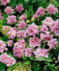 Gartenpflanze Calystia Flore Pleno