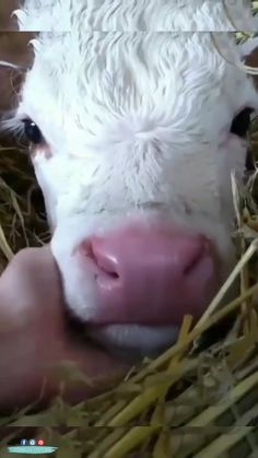 Baby Farm Animals, Cute Wild Animals, Baby Cows, Cute Little Animals, Cute Funny Animals, Animals Beautiful, Animals And Pets, Nature Animals, Cute Baby Cow