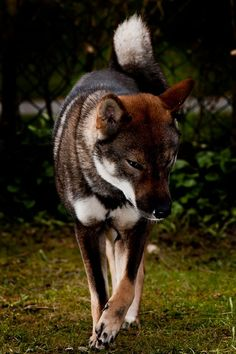 Shikoku is a native, primitive Japanese breed of dog from Shikoku island that is similar to a Shiba Inu.