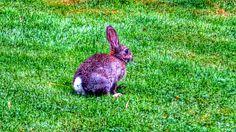 Rabbit dans le jardin de Claire Normandy 20140713_091636_1A