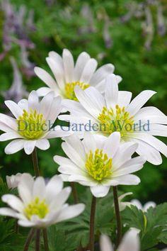 Anemone Blanda White Splendour Niederländischen Top-Qualität Blumenzwiebeln…