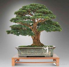 Cloud Pruning, Japanese Tree, Bonsai Styles, Great Hobbies, Bonsai Garden, Garden Features, House Plants, Greenery, Flora