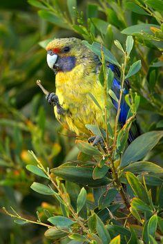 Green Rosella, (Platycercus caledonicus), adult, Alonnah, Bruny Island, Tasmania, Australia. @ sohnjoo's photography