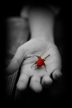 red rose ╭•⊰✿