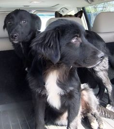 #FOUNDDOGS 3-15-14 #INDIANAPOLIS #IN FOUND IN EAGLE CREEK BLACK & WHITE PUPS SOUTHSIDE ANIMAL SHELTER https://www.facebook.com/ssanimalshelter/posts/601673279901657:0