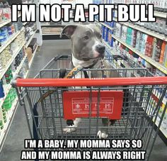 Uplifting So You Want A American Pit Bull Terrier Ideas. Fabulous So You Want A American Pit Bull Terrier Ideas. Funny Animal Memes, Cute Funny Animals, Dog Memes, Funny Animal Pictures, Cute Baby Animals, Funny Dogs, Pitbull Pictures, Cute Puppies, Cute Dogs