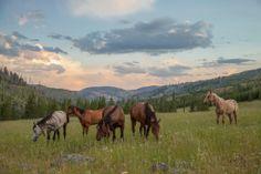 """Mustangs used in film """"Unbranded""""."""