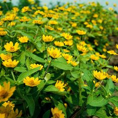 Cheery melampodium has sunshine-yellow flowers on deeply green leaves. It's a mainstay for hot, sunny spots, where it will produce a profusion of yellow daisy-shape blooms all summer. Melampodium is an excellent plant for containers or in the front of the border (especially in slightly soggy soil).