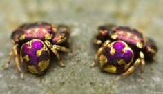 beautiful purple and gold species of jumping spider found in thailand