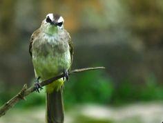 Suara Pikat Semua Jenis Burung Burung Kecil Burung Suara