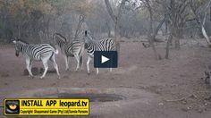 Home of Leopard.tv Wildlife Magazine, Shayamanzi wildlife ranch and wildlife music Harems, In Distress, Tv Videos, Zebras, Lion, Kicks, Wildlife, Number, Nature