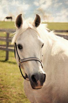 Horse Photograph - white equine animal pasture field barn farm green sunny day summer 8x12 via Etsy