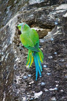 A stealthy color capturing shot of a Rose-Ringed Parakeet resting on a temple in Lonar, Maharashtra, India. Parakeets, Parrots, Colourful Birds, Albino, Amsterdam, Temple, Exotic, Indian, Blue