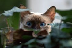 Cat Attack, Cat Store, Cat With Blue Eyes, Hens And Chicks, Cat Grooming, Siamese Cats, Kitty Cats, Burmese, Zebras