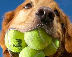 Augie, a Golden Retriever, loves tennis balls & currently holds the Guinness World Record for most tennis balls in his mouth. Check out more pets with world records at source. Cool!