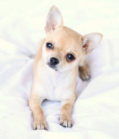 So the other day. ... I fell in love with a Chihuahua!