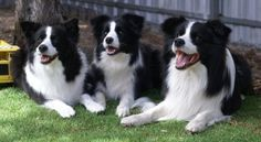 Beautiful happy Border Collies