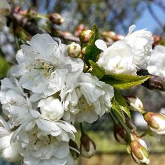 It the #blossom season.