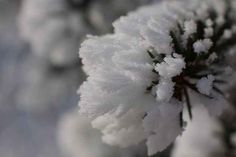 Snow crystals: Frosted needles are a winter mainstay on Alberta's stately pines.