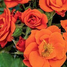 All a'Twitter - Miniature Rose   Available @ Bluemel's Garden Center 2015 www.bluemels.com