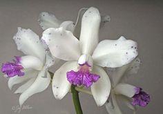 Cattleya amethystoglossa var. coerulea